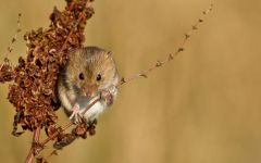 Мышь-малютка на травинке