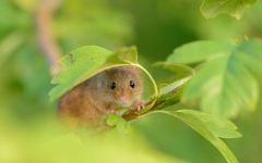 Мышь-малютка в зеленой листве