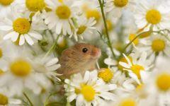 Мышь малютка среди ромашек