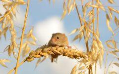 Мышь-малютка собирает колосья