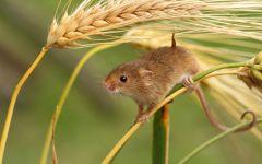 Мышь-малютка запасает запасы на зиму