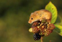 Мышь-малютка на ягоде