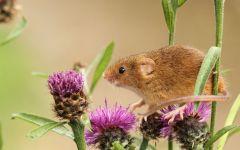 Мышь-малютка на цветах репейника
