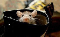 Мышь спряталась в сапогах