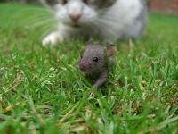 Кошка охотится за мышонком