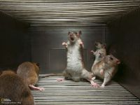 Испуганные крысы