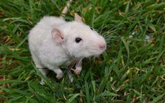 Белая крыса в траве