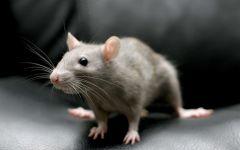 Серая декоративная крыса