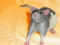 Напуганная крыса