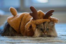 Персидский кот - олень