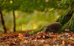 Ежик гуляет по опавшей листве