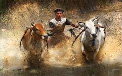 Гонки на коровах