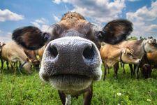 Морда коровы крупным планом