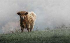 Теленок шотландской высокогорной коровы