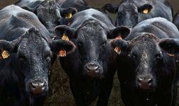 Коровы облепленные мухами фото