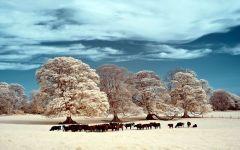 Стадо коров на заснеженном лугу