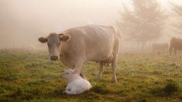 Корова с теленком в тумане