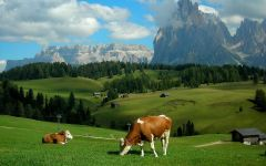 Коровы, пасущиеся в Альпах
