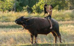 Мальчик сидит на спине вола