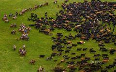 Ковбои гонят стадо коров