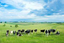 Коровий молодняк на зеленом лугу