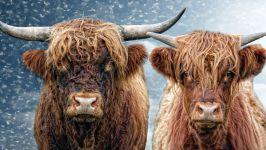 Две шотландские коровы фото