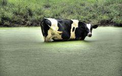 Корова, забредшая в водоем