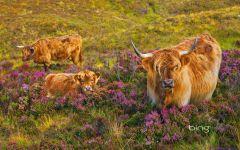 Лохматые шотландские коровы