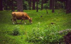 Корова пасется в лесу