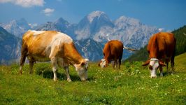 Коровы, пасущиеся высоко в горах