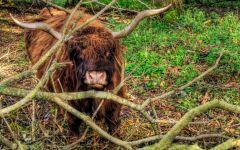 Высокогорный шотландский бык чешет рога об ветви