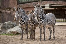 Семейка зебр в зоопарке