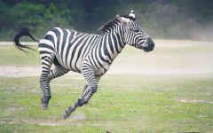Скачущая по лугу зебра