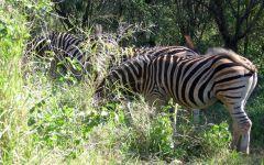 Зебры в траве