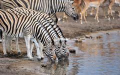 Три зебры на водопое
