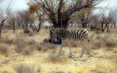 Одинокая зебра фото