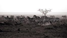 Зебры черно-белое фото