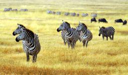 Зебры в высохшей саванне