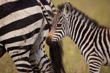 Жеребенок зебры у маминого хвоста