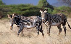 Две молодые зебры