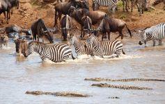 Зебры, гну и крокодилы