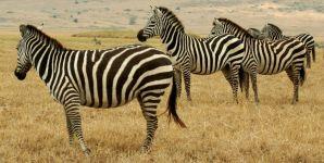 Настороженные зебры фотография