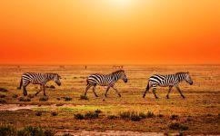 Зебры и кровавый закат