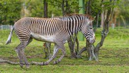 Скачущая зебра
