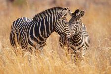 Зебры в сухостое