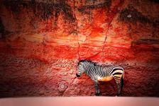 Зебра на фоне красной стены