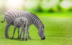 Детеныш зебры пьет молоко