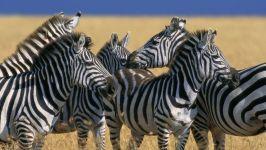 Скученные зебры