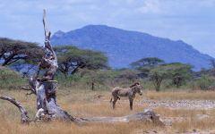 Зебра у сухого дерева