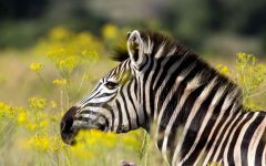 Зебра в цветущей траве